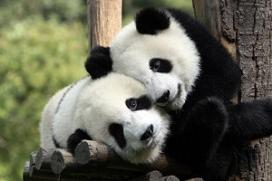 Hotel steekt geld in panda's