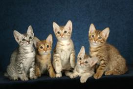 Betaald katten aaien in het Britse Cat Cafe