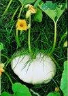 Eetbare pompoenen van Nederlandse bodem