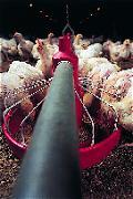 Kippen groeien de pan uit