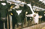 Koeienstal concurreert met horeca