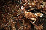 Kippenzaken reageren op vogelgriep