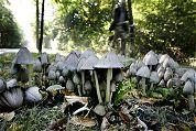 Polen plukken illegale paddestoelen voor horeca