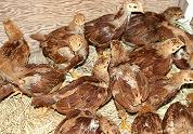 EU-landen eens over kippenruimte