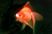 Kimpton Hotels zet goudvis in