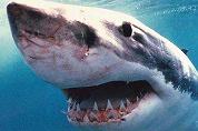 Haai jaagt toeristen angst aan