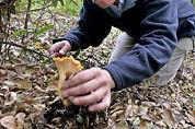 Polen stropen paddenstoelen voor horeca