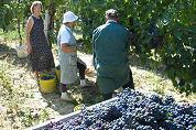 Franse wijnoogst 2007 kleinste sinds 1991