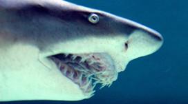 Restaurant grapt met grote haai