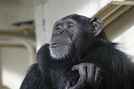 Nederlandse apen keuren bananensoep af