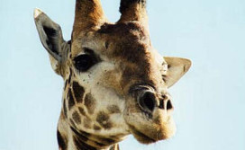 Logeren op ooghoogte met giraffen