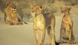 Oranjecamping tussen leeuwen safaripark