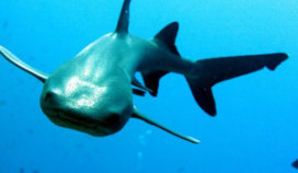Menukeuze: rot haaienvlees of pizza