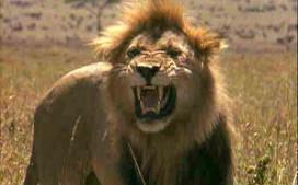 Leeuwen eten dronken barman op in Zuid-Afrika