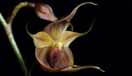 Bijzondere orchidee krijgt naam koffie Miko