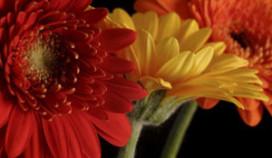 René Redzepi krijgt eigen bloem