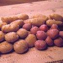 Vroege aardappels in mei