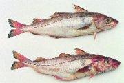 Quota noordzeevis: geen zorg voor horecaondernemers