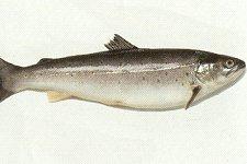 Alternatieven voor Noordzeevis