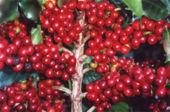 De geschiedenis van koffie