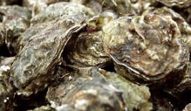Aanval op oesterboorder