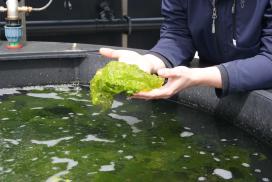Foto's zeegroenten telen op Texel