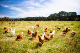 Steeds meer biokippen en -koeien in Nederland