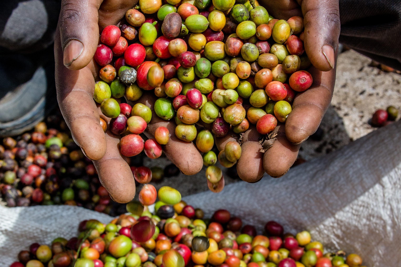 Verrassend Groene boon - Handel in 'rauwe' koffie: de weg van de groene boon TO-99