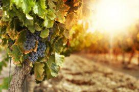 Wijnimporteurs zien vraag naar biologische wijn stijgen