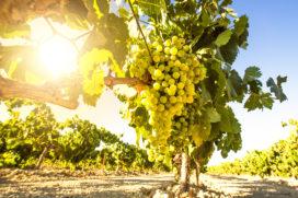 Noord-Brabant steeds belangrijker voor wijnproductie