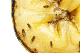 Tips tegen fruitvliegjes in de horeca
