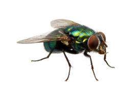 Tips tegen vliegen in de horeca: Hoe kan je ze weren en bestrijden?