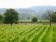 Gezicht op wijngaard domein holset 80x60