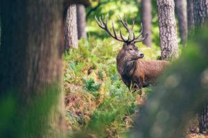 Vlees van afgeschoten herten Oostvaardersplassen al uitverkocht