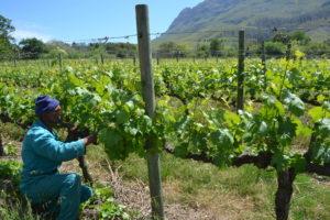 'Nieuwe blik op wijn uit Zuid-Afrika'