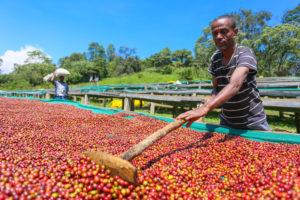 De wilde koffiebossen van Ethiopië: 'Bessen plukken van de oudste koffieboom ter wereld'